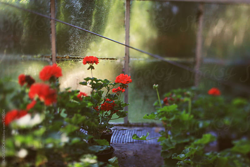 Greenhouse Geraniums by ALICIA BOCK for Stocksy United