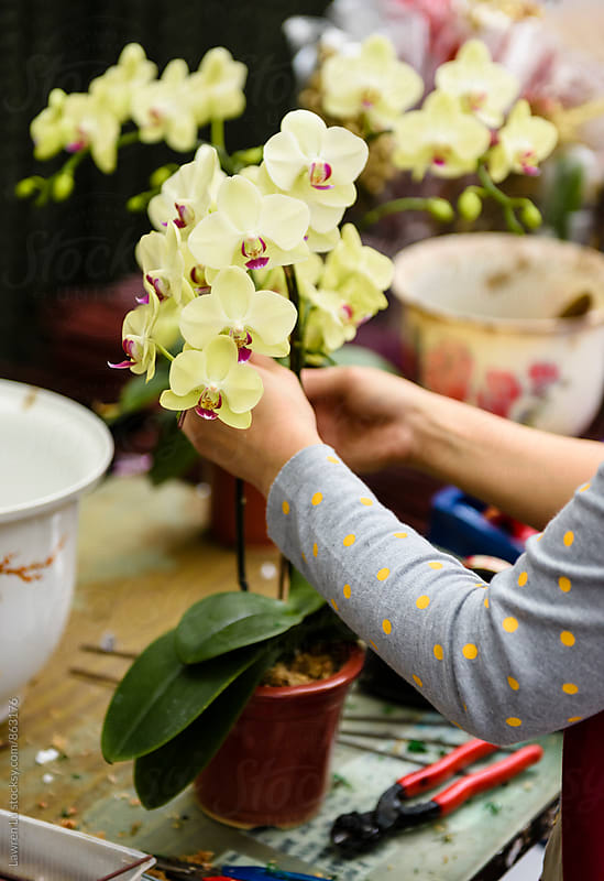 Human hand arranging moth orchid inflorescence by Lawren Lu for Stocksy United