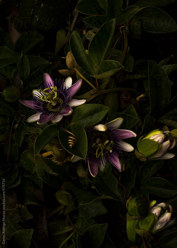 Shadowed passiflora by Carles Rodrigo Monzo for Stocksy United