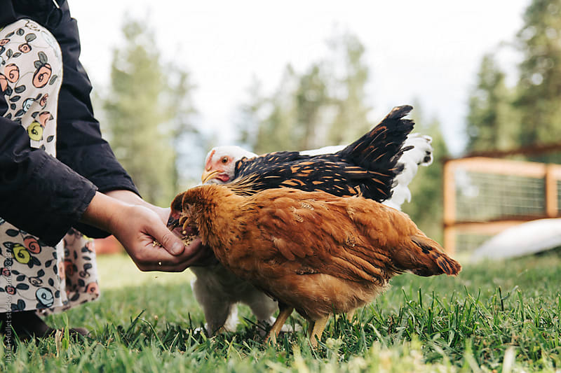 Pet chickens eating from a hand by Justin Mullet for Stocksy United