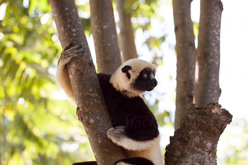 A lemur -white sifaka- sitting on a tree by Beatrix Boros for Stocksy United