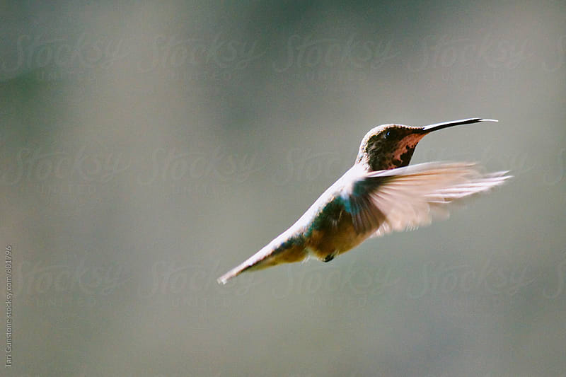 Hummingbird in flight by Tari Gunstone for Stocksy United