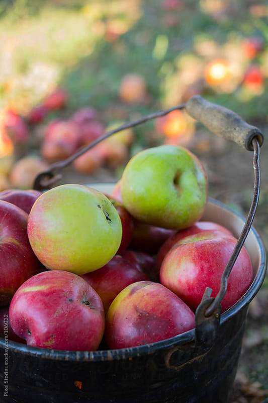 Fresh windfall apples by Pixel Stories for Stocksy United