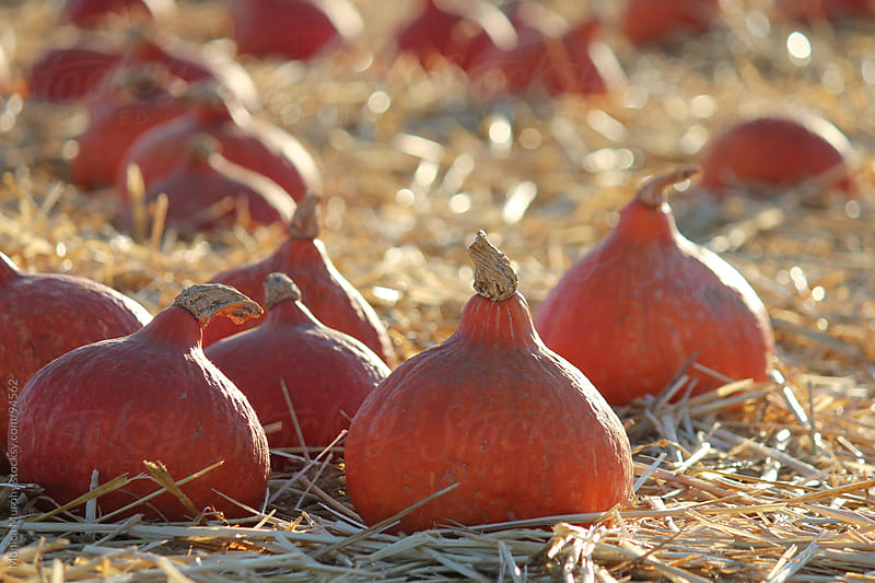 Group of odd shaped pumpkins at the pumpkin patch by Monica Murphy for Stocksy United