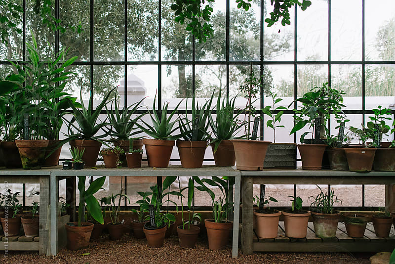 Arranged lines of plants in pots in a greenhouse by Trent Lanz for Stocksy United