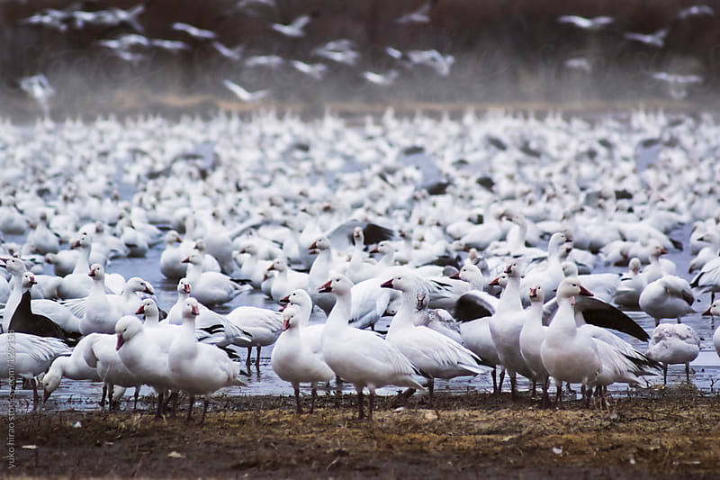 Resting birds in fog (Snow Geese)  by yuko hirao for Stocksy United