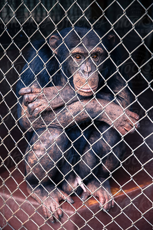 A Chimpanzee Monkey In A Cage by Carey Haider for Stocksy United