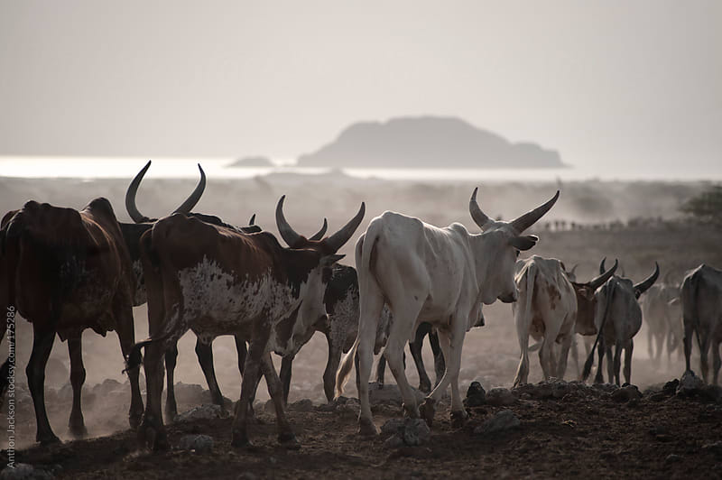 Cattle Drive, Ethiopia by Anthon Jackson for Stocksy United