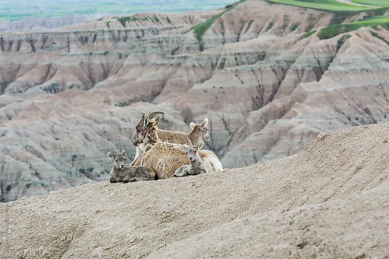 Family of bighorn sheep by Adam Nixon for Stocksy United