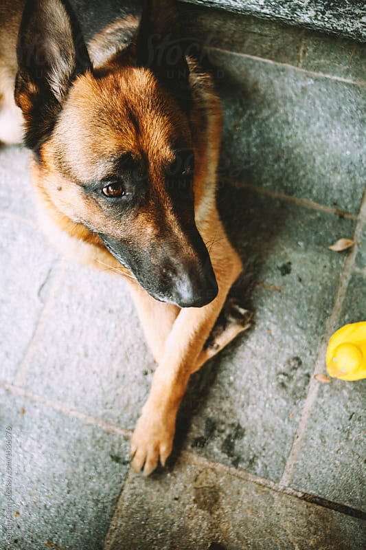 A german sheperd and his plastic duck by Giada Canu for Stocksy United
