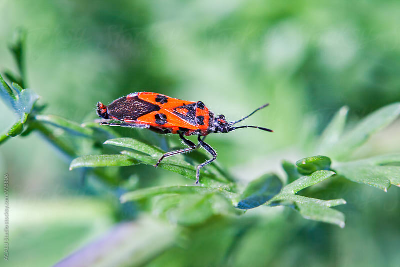 Red bedbug on a branch by ACALU Studio for Stocksy United