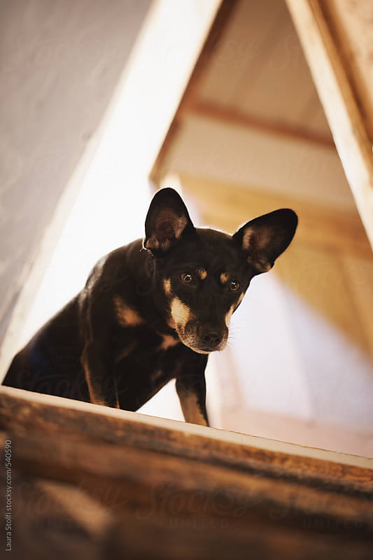 Dog stands on top of wooden stairs and looks down by Laura Stolfi for Stocksy United