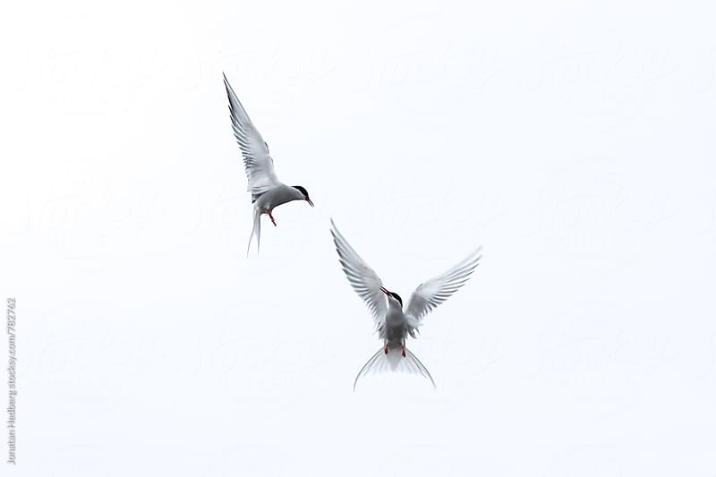 Arctic terns by Jonatan Hedberg for Stocksy United