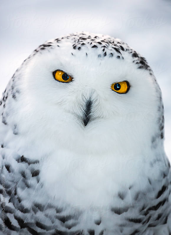 Snowy Owl by alan shapiro for Stocksy United