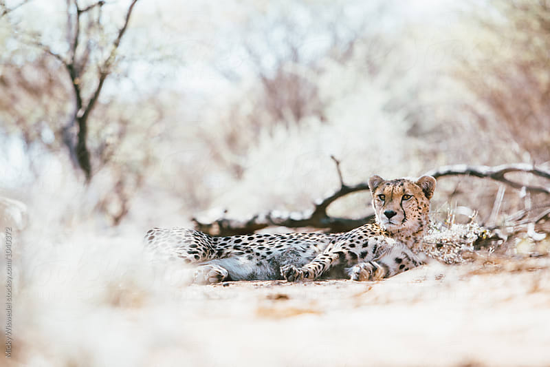 Wild cheetah in the bush by Micky Wiswedel for Stocksy United