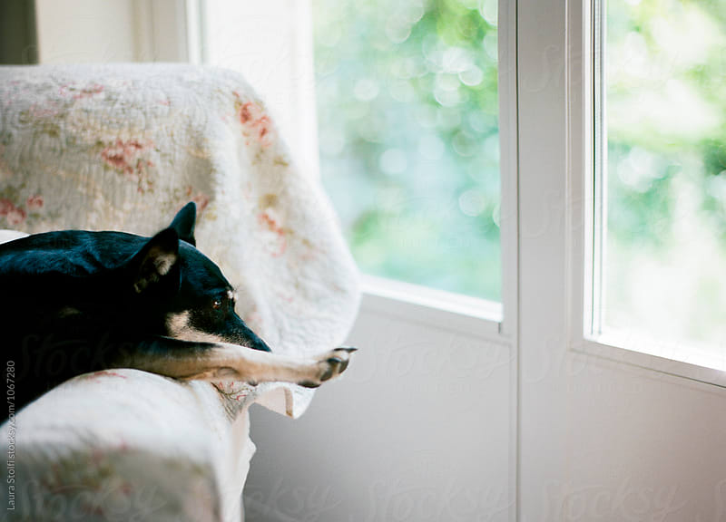Little dog loves to lay on armchair close to glass door by Laura Stolfi for Stocksy United