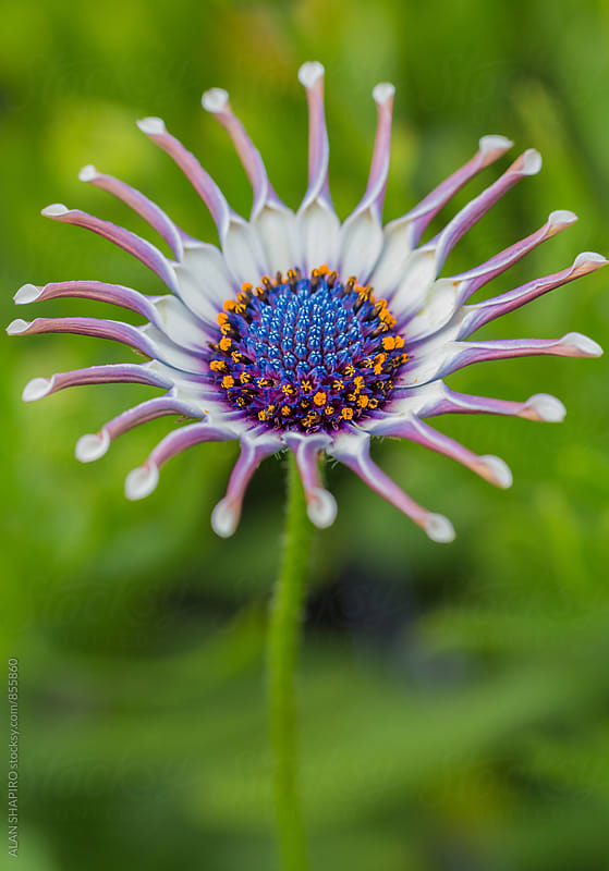 African Daisy by alan shapiro for Stocksy United