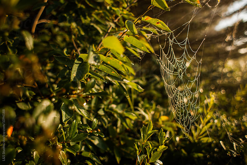 Spiderweb in dew by L&S Studios for Stocksy United