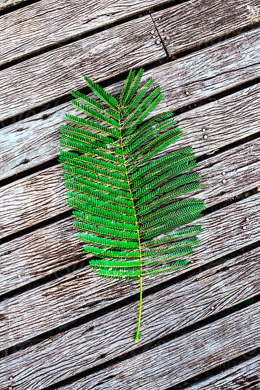 Fern leaf on wooden surface.  by Jovo Jovanovic for Stocksy United