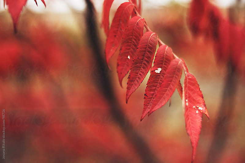 Red leaves by Jovana Rikalo for Stocksy United