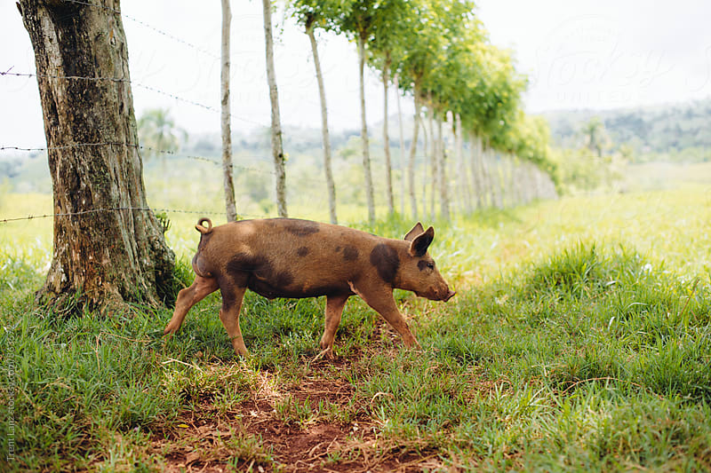 Domestic pig on pasture by Trent Lanz for Stocksy United