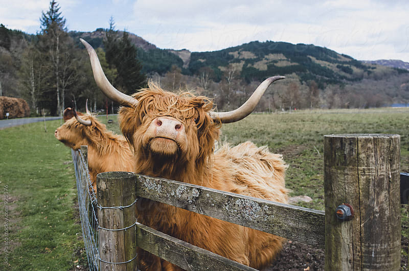 Highland Cow AKA Hairy Coo of Scotland by Joey Pasco for Stocksy United