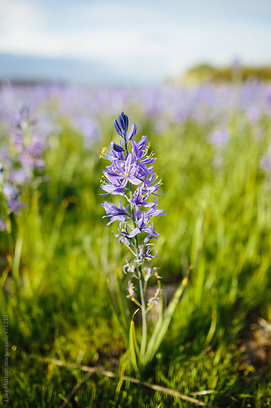 Close Up Of Purple Camas Flower Blossoming In Spring by Luke Mattson for Stocksy United