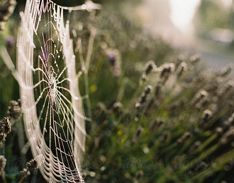 Dewy spider's web and lavender by Helen Rushbrook for Stocksy United