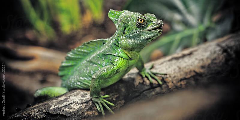 Plumed basilisk lizard by Andreas Gradin for Stocksy United