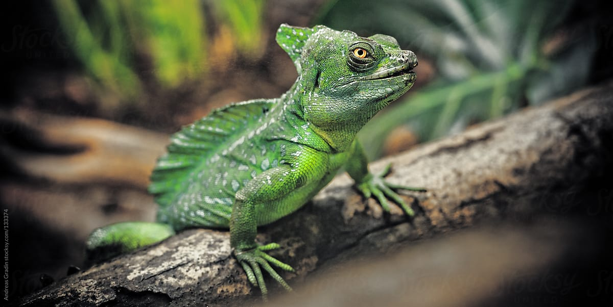 Plumed Basilisk Lizard by Andreas Gradin
