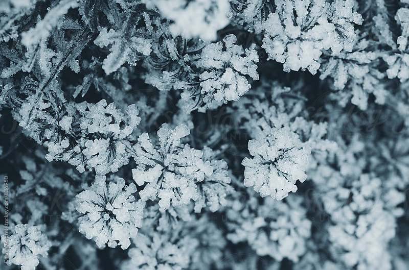 Abstract ice on flowers in winter by Cosma Andrei for Stocksy United