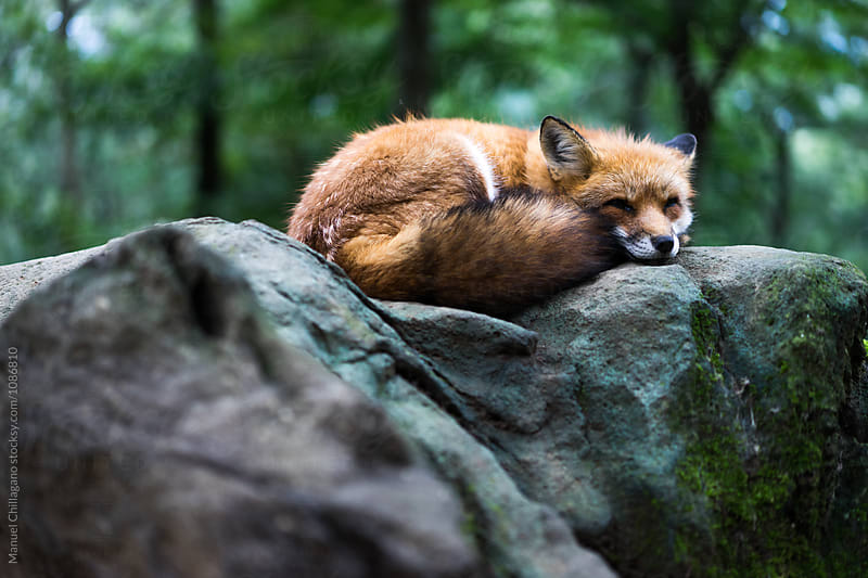 Red fox sleeping on a rock by Manuel Chillagano for Stocksy United
