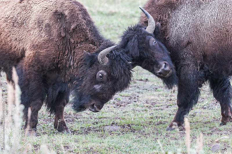 Fighting Yellowstone Bison by Adam Nixon for Stocksy United