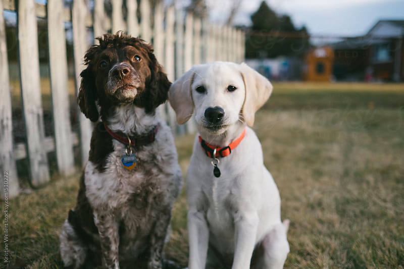 Two dogs sitting together side by side by Kristine Weilert for Stocksy United