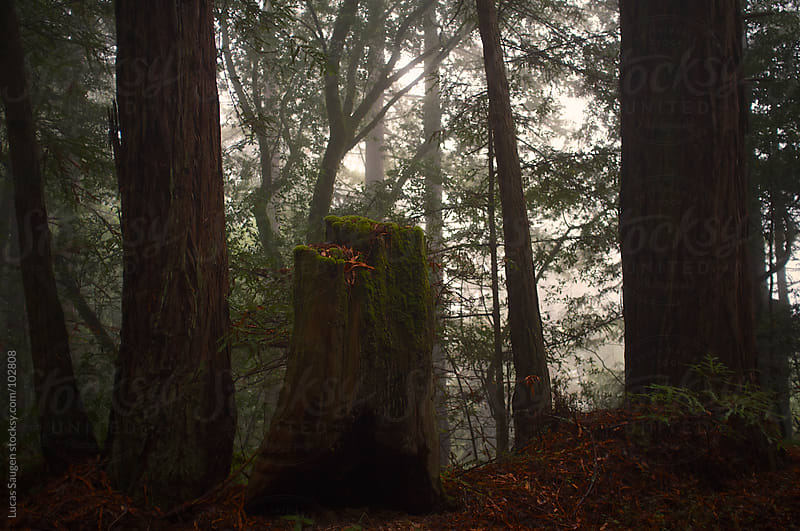 Redwood trees in the California fog. by Lucas Saugen for Stocksy United