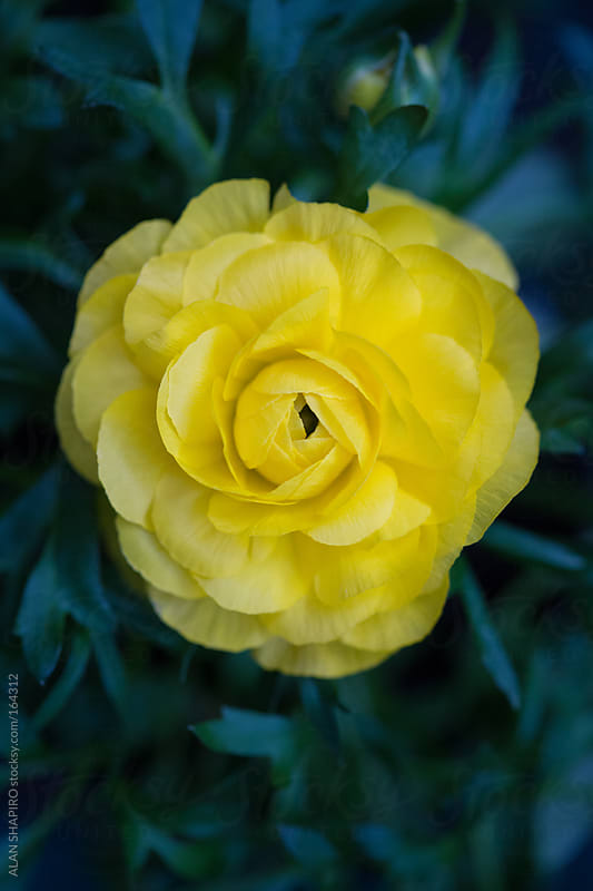 Ranunculus in bloom by alan shapiro for Stocksy United