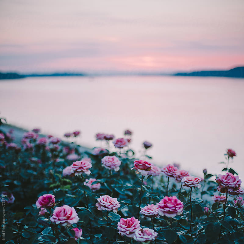 Beautiful pink rose garden by the river by Nabi Tang for Stocksy United