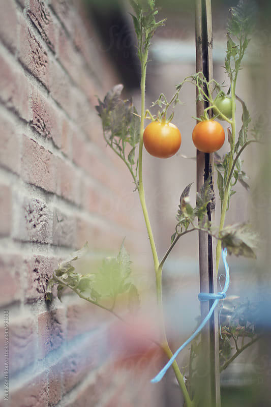 Young tomato plant against a brick wall by Kaat Zoetekouw for Stocksy United