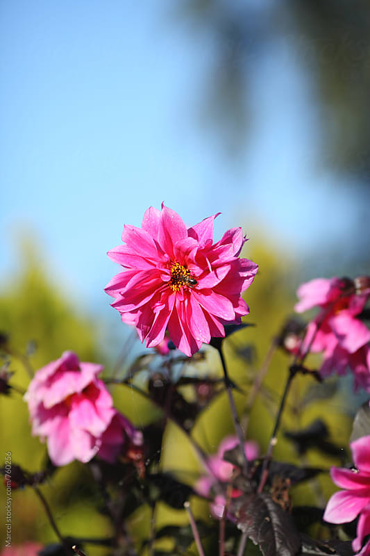 Bee on bright pink dahlia flower by Marcel for Stocksy United