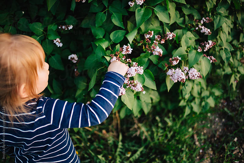 Toddler girl picking lilacs on a spring evening. by Jessica Byrum for Stocksy United