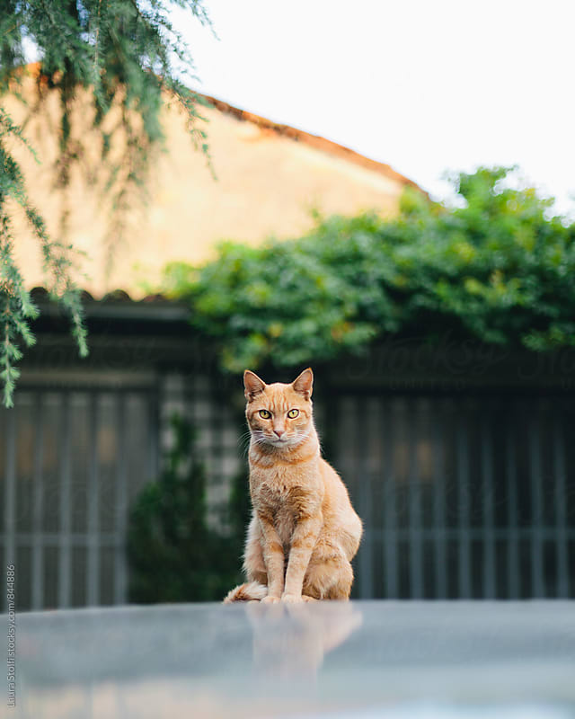 Red cat sits on top of car and looks straight at the camera, bright day, summer outdoor by Laura Stolfi for Stocksy United