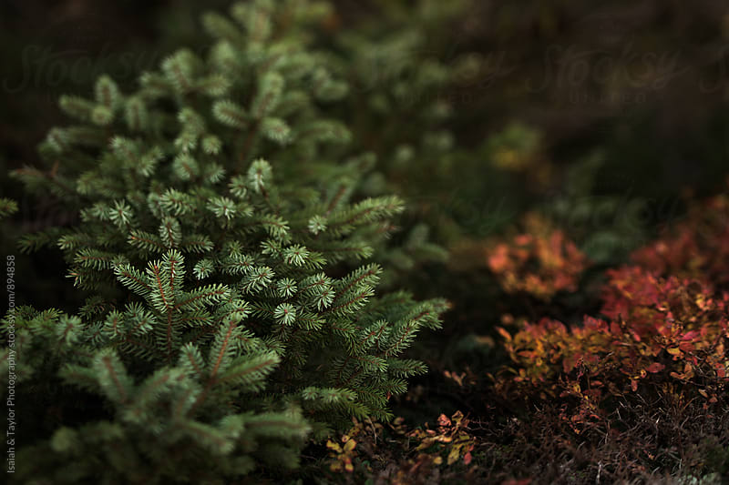 Detail of pine tree by Isaiah & Taylor Photography for Stocksy United