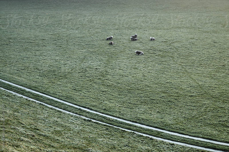 Sheep on a cold dew covered morning. Cumbria, UK. by Liam Grant for Stocksy United