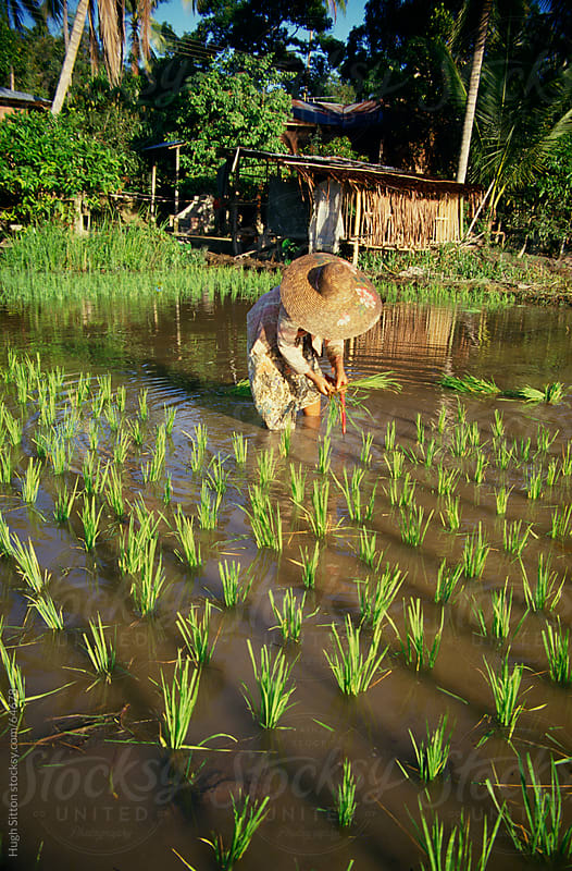 Woman sowing rice. Malaysia. by Hugh Sitton for Stocksy United