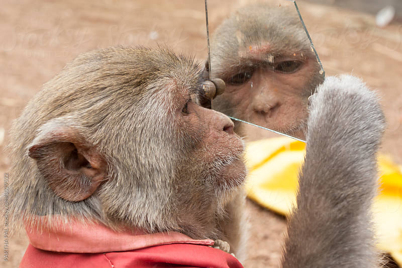 A monkey looking at a broken mirror by PARTHA PAL for Stocksy United