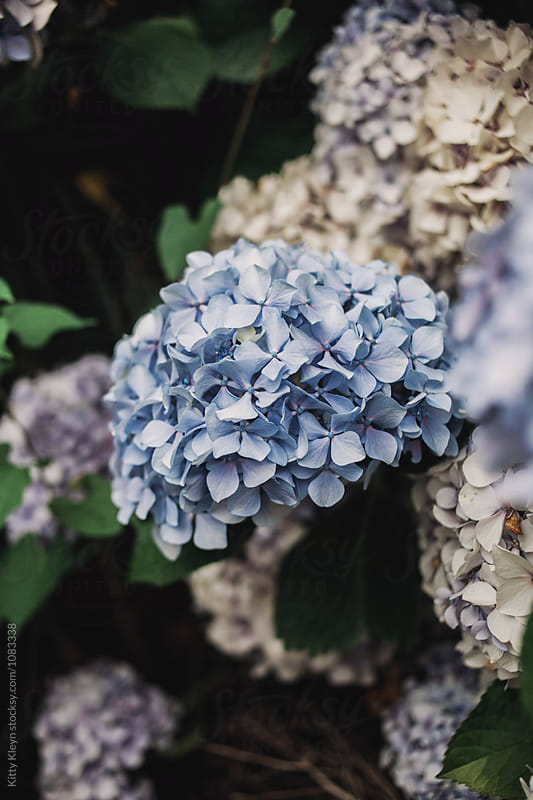 Blue hydrangea by Kitty Gallannaugh for Stocksy United