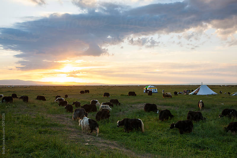 sunset at grassland with herd grazing by cuiyan Liu for Stocksy United