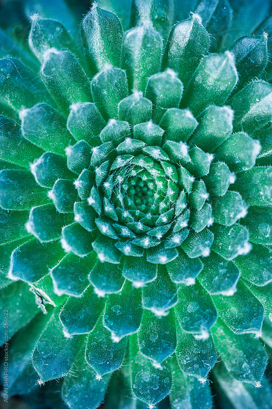Succulent from overhead by alan shapiro for Stocksy United