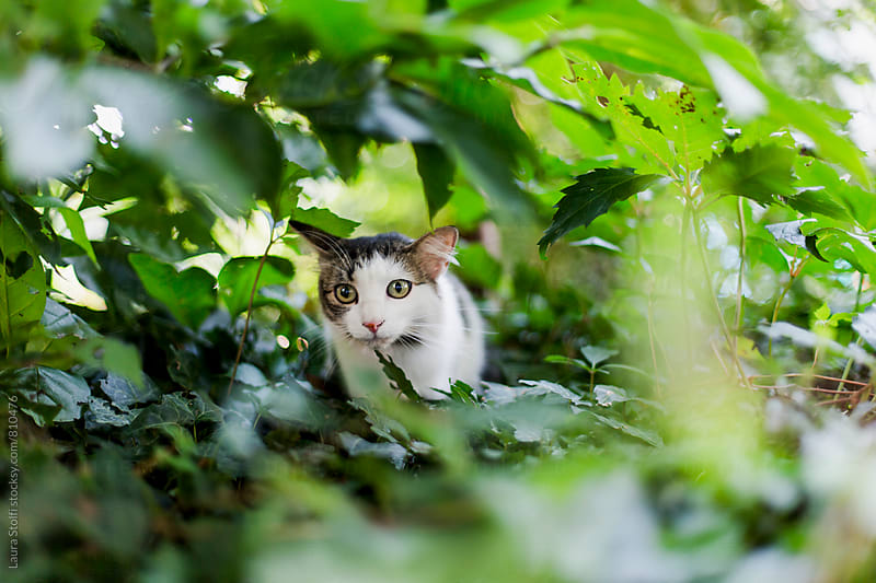 Cat seen through leaves while having fun in sunny garden by Laura Stolfi for Stocksy United