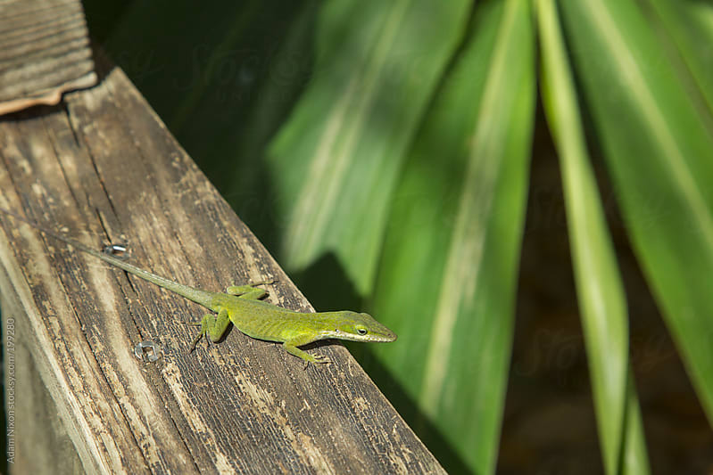 Green lizard sunning on a wood bench by Adam Nixon for Stocksy United